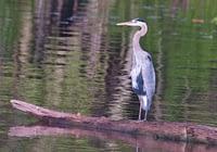 Great Blue Heron Standing On Log