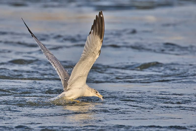 Ring-billed Gull With Shad