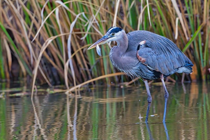 Great Blue Heron With Shad