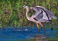 Great Blue Heron Regaining Balance
