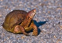 Three toed Box Turtle Crossing Road