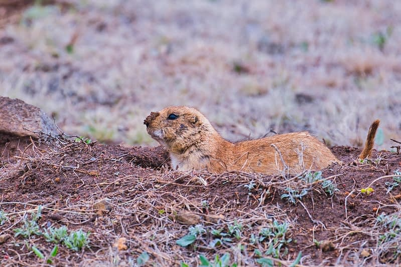 Black tailed Prairie Dog With Muddy Nose