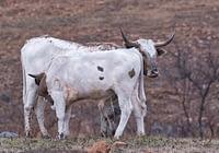 Texas Longhorn Calf Feeding
