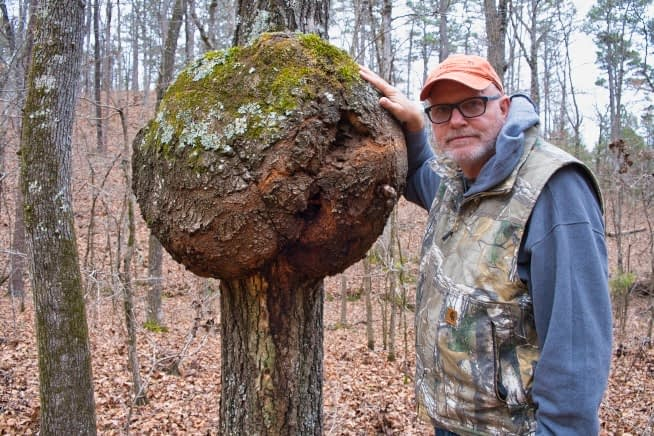 Gall On An Oak Tree