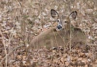 Bedded Whitetail Doe