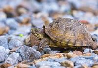 Three-toed Box Turtle Walking On Rocks