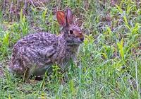 Swamp Rabbit With Deer Fly