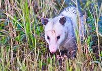 Opossum Walking Through Grass