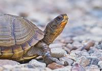 Three-toed Box Turtle close-up