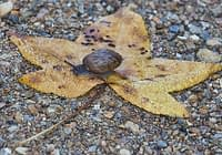 Land Snail On Leaf
