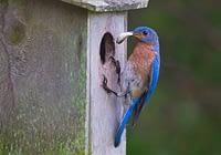 Eastern Bluebird Removing Fecal Sac
