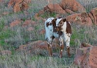 Wild Texas Longhorn Calf