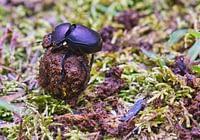Dung Beetle Rolling Poop
