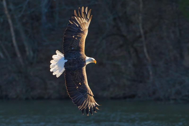 Bald Eagle Turning