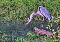 Great Blue Heron Scratching Neck