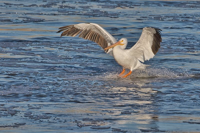 American White Pelican Landing In Suds
