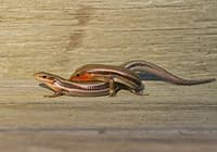 Mating Southern Coal Skinks