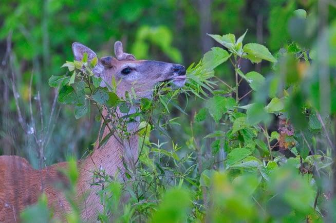 Whitetail Buck Eating Leaves