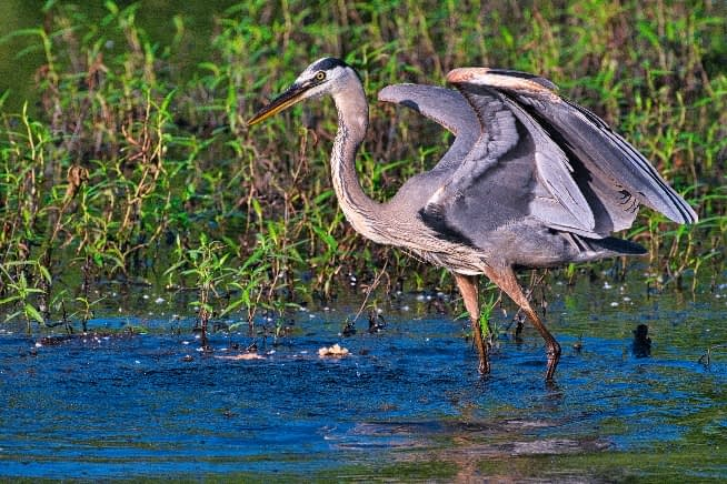 Great Blue Heron Regaining Balance
