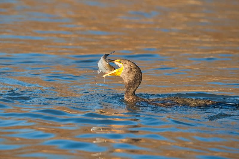 Double-crested Cormorant with Shad