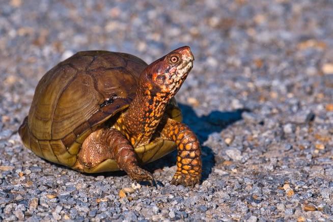 Three toed Box Turtle Crossing Road