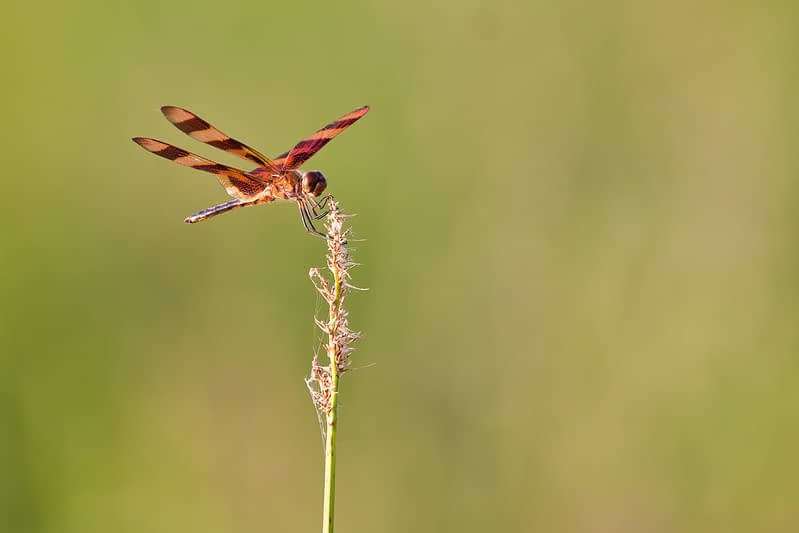 Dragonfly Perched On Stem