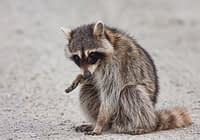 Injured Raccoon