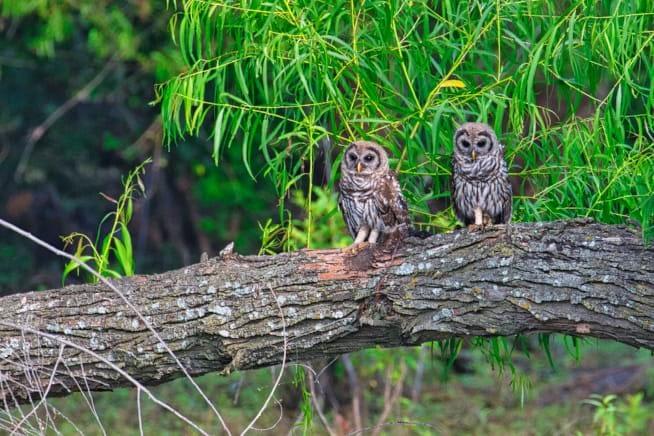 Barred Owl Fledglings