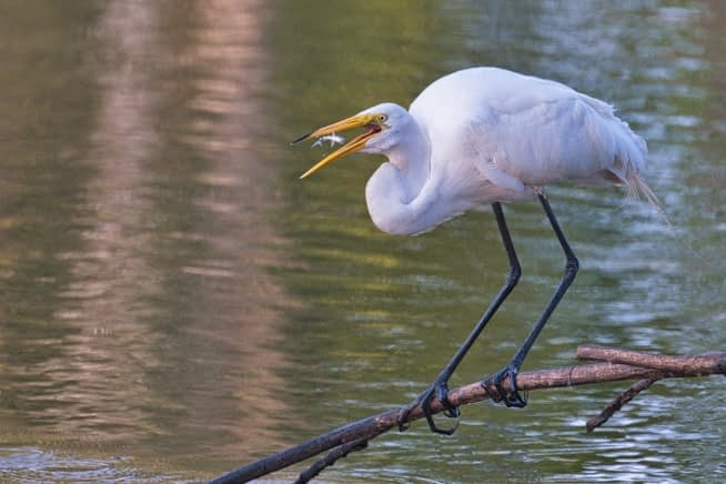 Great Egret Tossing Fish
