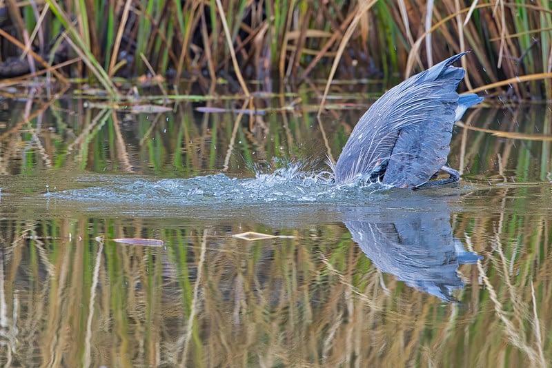 Great Blue Heron Underwater
