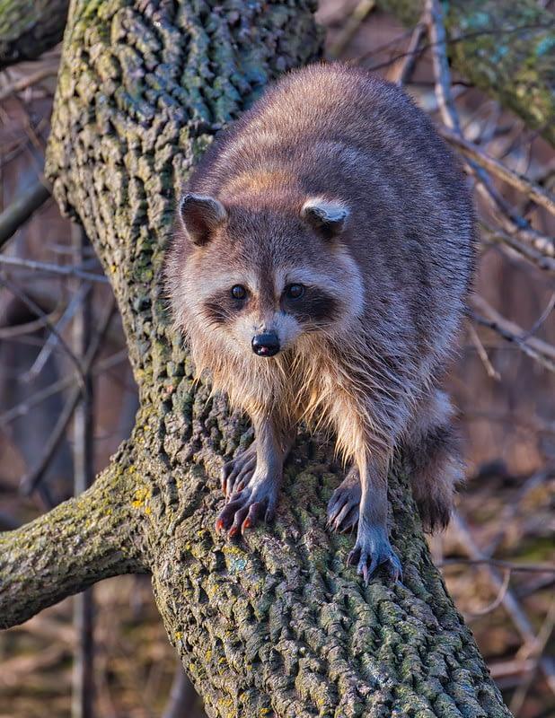 Large Raccoon