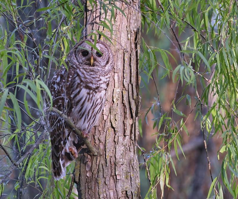 Adult Barred Owl