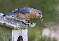 Eastern Bluebird With Spider