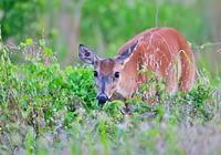 Whitetail Doe Feeding Watching