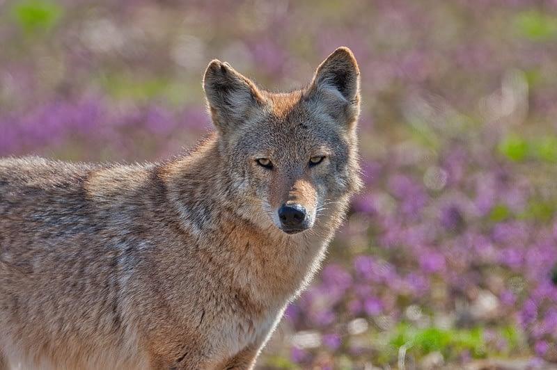 Coyote Sequoyah National Wildlife Refuge 2