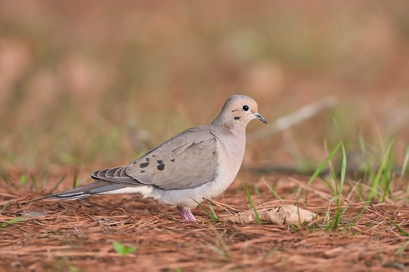 Mourning Dove Walking Through Pine Needles