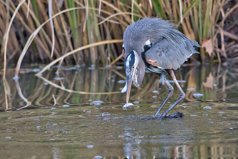 Great Blue Heron With Two Shad