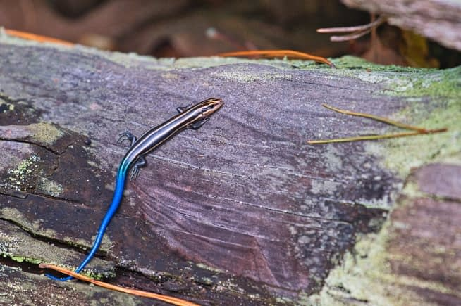 Juvenile Five lined Skink On Log