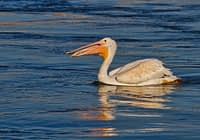 American White Pelican With Minnow