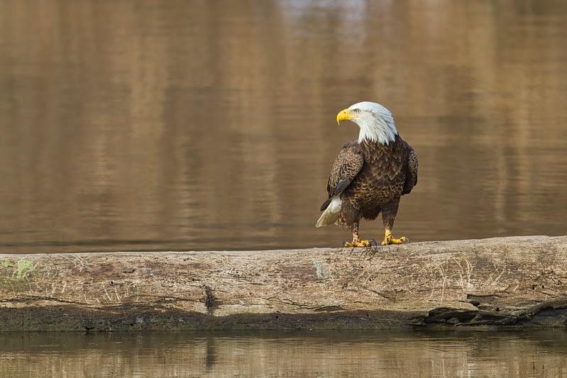 Bald Eagle On Log