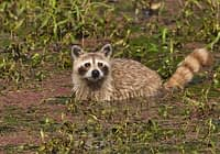 Cinnamon Raccoon