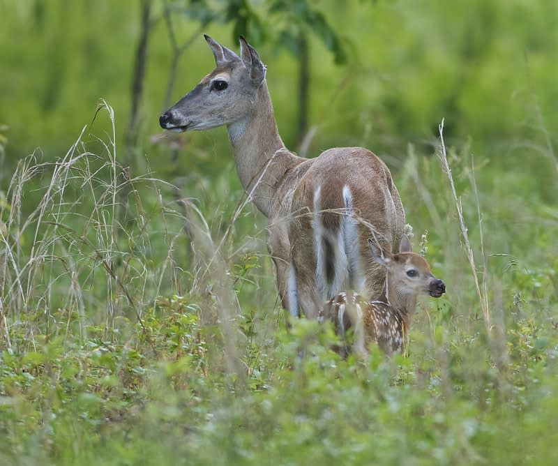 Fawn With Injured Mouth