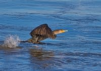 Double-crested Cormorant Takeoff