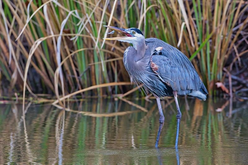 Great Blue Heron Tossing Shad