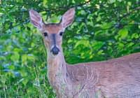 Whitetail Doe Under A Tree