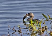 Pied-billed Grebe With Crawdad