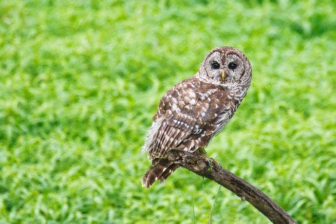 Barred Owl At Miners Cove