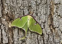 Luna Moth Missing Hind Wing