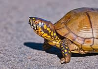 Colorful Three toed Box Turtle