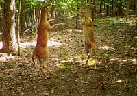 Deer Standing On Hind Legs Fighting